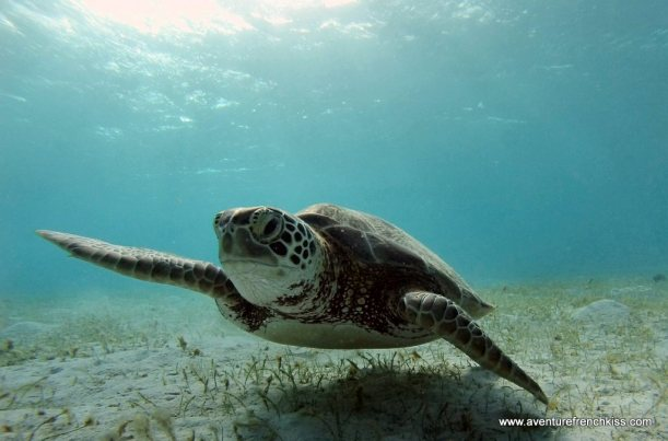 Tortue au Tobago Keys